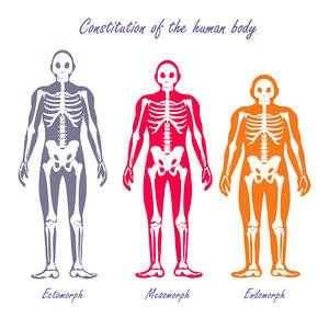 Bone structure of ectomorph, mesomorph and endomorph body types.